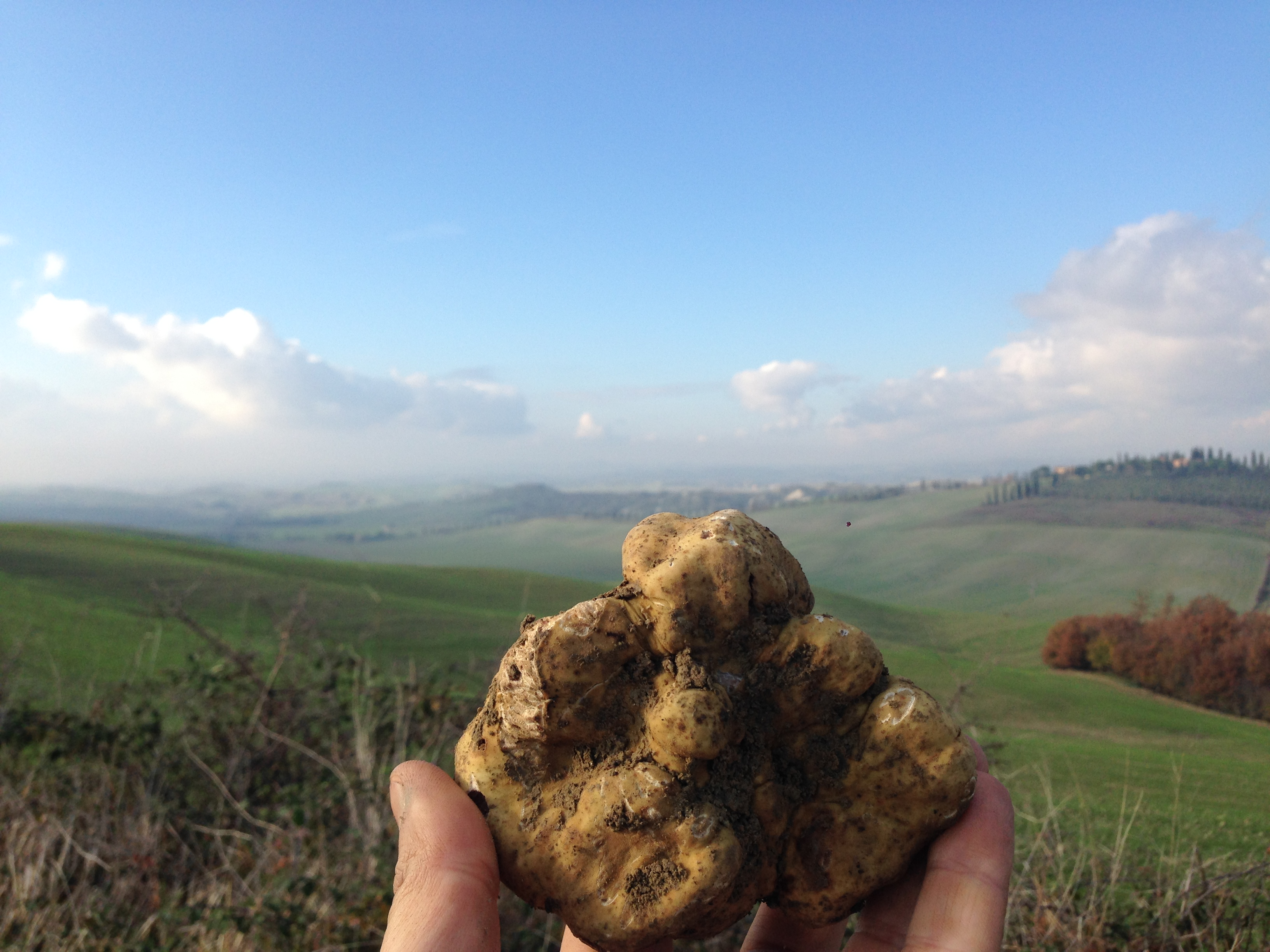 Un bellissimo tartufo bianco trovato nelle colline di Siena - trifola Siena Tartufi, Toscana