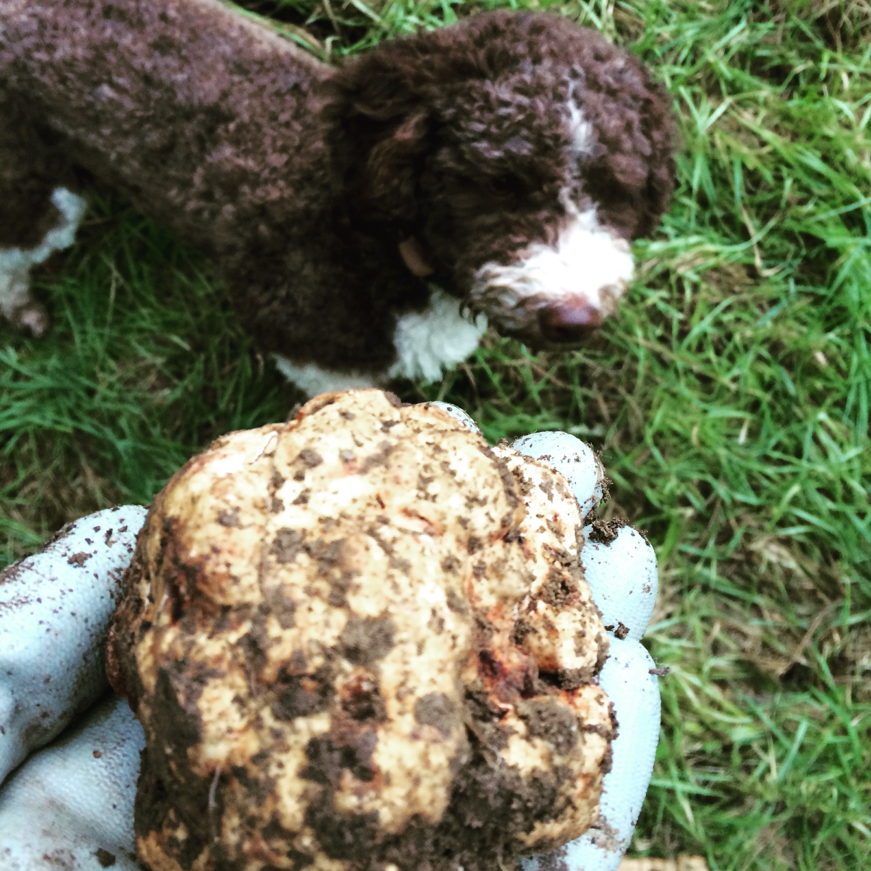 Un bellissimo tartufo bianco trovato dalla piccola Moka - truffle hunting Siena Tartufi