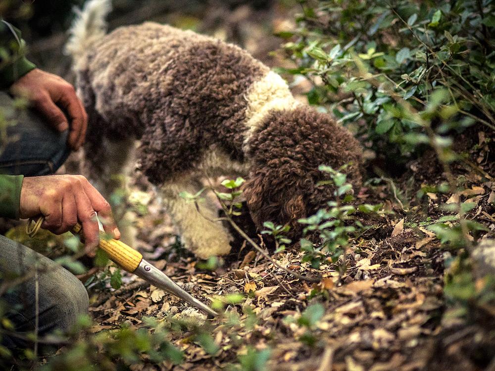 Moka di Siena Tartufi sente il profumo del tartufo sotto al terreno durante truffle hunting - foto di Marco Cheli